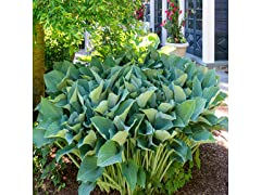 Touch of Eco Giant Leaved Hosta, Your Choice
