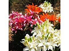 Oohs and Aahs Lily Bulbs