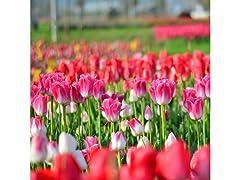 Tulipa 'Showgirl' Flowers 10 Bulbs
