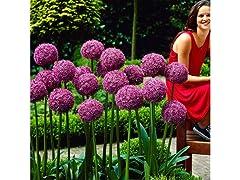 Allium Giganteum Flowers (6-Bulbs)