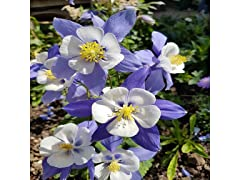 Mixed Columbine Flower Bulbs