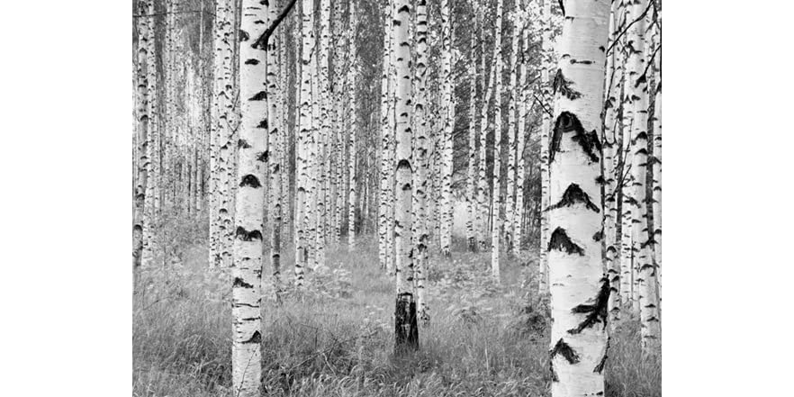 Birch forest wall mural for Birch forest wall mural