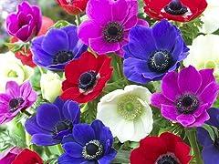 Anemone De Caen Flower Bulbs