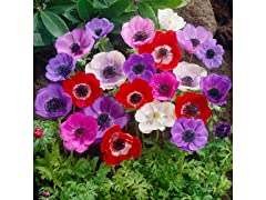 Mixed Anemone Flower Bulbs (15-Pack)
