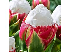 Tulipa Double late Ice Cream (6-Bulbs)