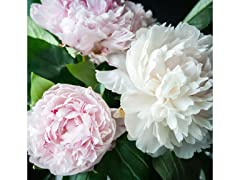 Mixed Peonies, Your Choice
