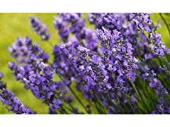 Roll Out Lavender Garden - 4pk