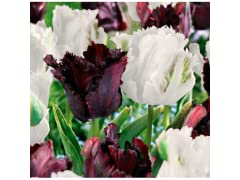 Black & White Parrot Tulips, 20 Pack