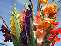 Gladiolus Mixed Flower Bulbs
