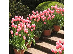 Pink Dutch Tulips, 24 Pack