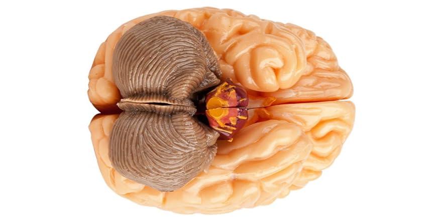 Squishy Brains Toys : SmartLab Toys Amazing Squishy Brain - Kids & Toys