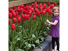 Sky High Scarlet Tulips, Your Choice