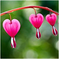 2-Pack Touch of Eco Old Fashioned Bleeding Hearts Flower Bulbs