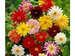 Dwarf Dahlia Flower Mat