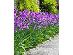 Mixed Dutch Iris Bulbs 60-Pack