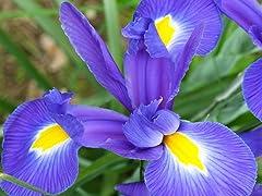 Dutch Iris Mix Flower Bulbs