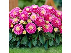 Grant Dutch Lilac Dahlia Bulbs 7-Pack