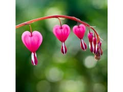 Touch of Eco Bleeding Hearts Pink Bulbs