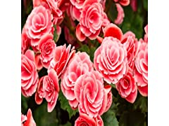 Strawberry Begonia - 4 Bulbs