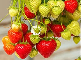 Hanging Strawberry Pouch & 10 Bare Root Plants