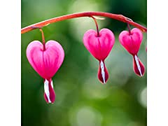 Old Fashioned Bleeding Hearts Bulbs