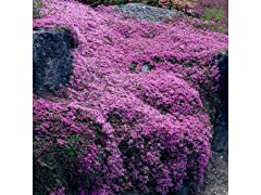 Roll Out Creeping Carpet Thyme Seed Mat
