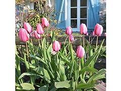 Pink Dutch Tulips 8 Bulbs