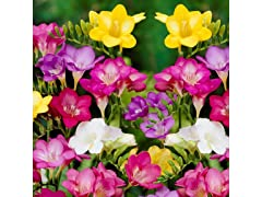 Mixed Freesia Flowers (30 Bulbs)