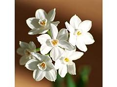 Fragrant Paperwhite Flowers 9-Pack