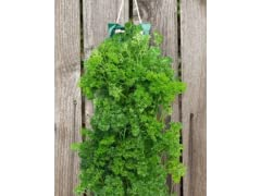 Organic Hanging Parsley