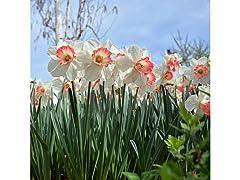 Pink Daffodils 6 Bulbs