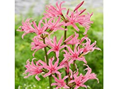 Touch Of ECO Pink Amarine Belladiva Flowers, 2 Bulbs