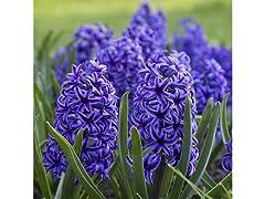 Blue Double Hyacinths 4 Bulbs