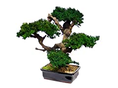 Large Monterey Bonsai
