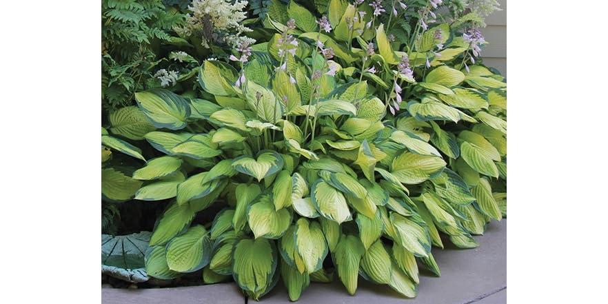 Hosta Perennial Mixed Plants