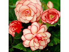 Belgium Ripple Begonia Bulbs 4-Pack