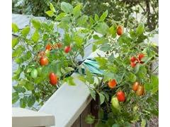 Organic Hanging Roma Tomato