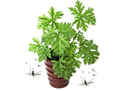 "4 Citronella Plants w/ 4"" Pot & Soil"
