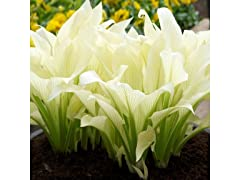 Touch Of ECO White Feather Hosta