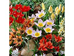 Ground Cover Tulips, Your Choice