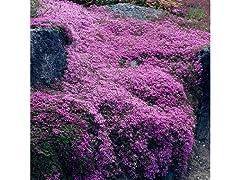 Creeping Thyme Instant Flower Mat, 5pk