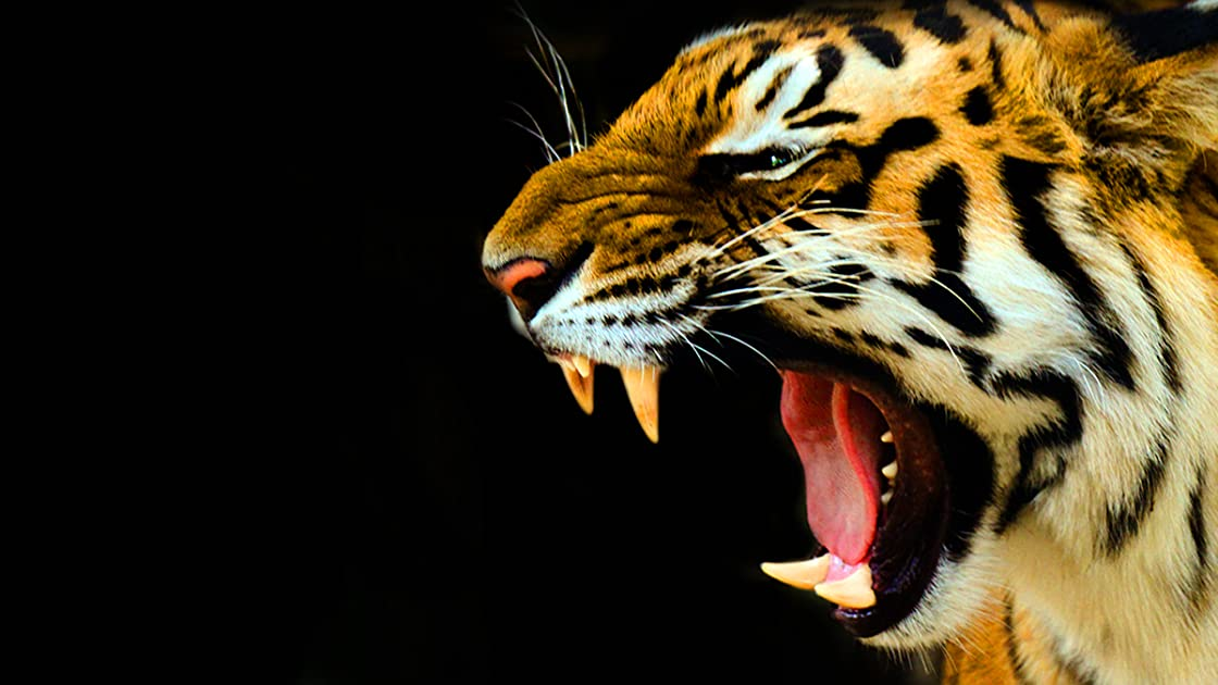 Last Roar of the Tiger on Amazon Prime Instant Video UK