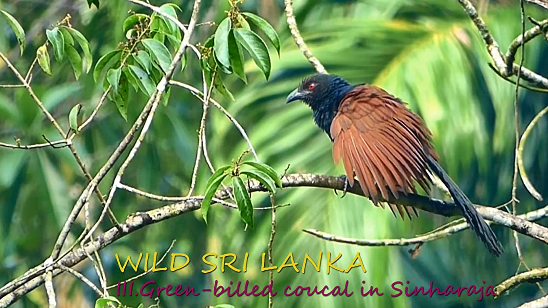Wild Sri Lanka. III. Green-billed coucal in Sinharaja on Amazon Prime Instant Video UK