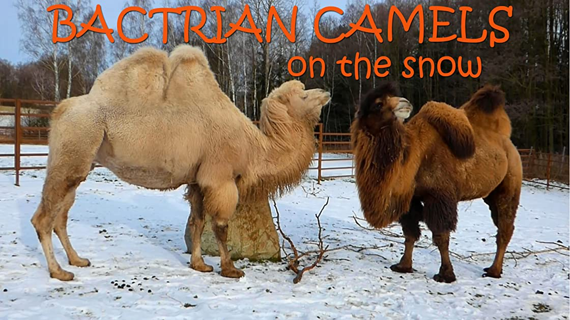Bactrian camels on the snow