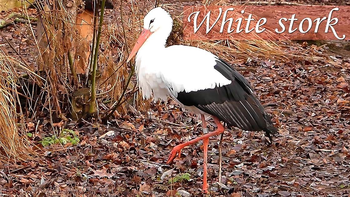 White stork on Amazon Prime Video UK