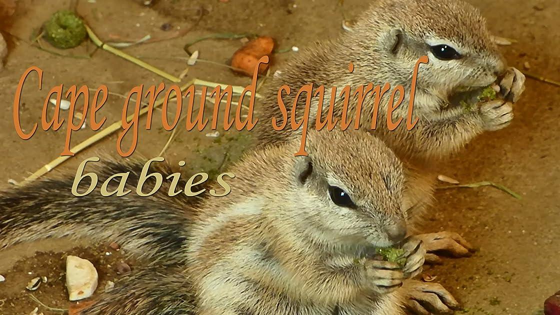 Cape ground squirrel. Babies on Amazon Prime Video UK