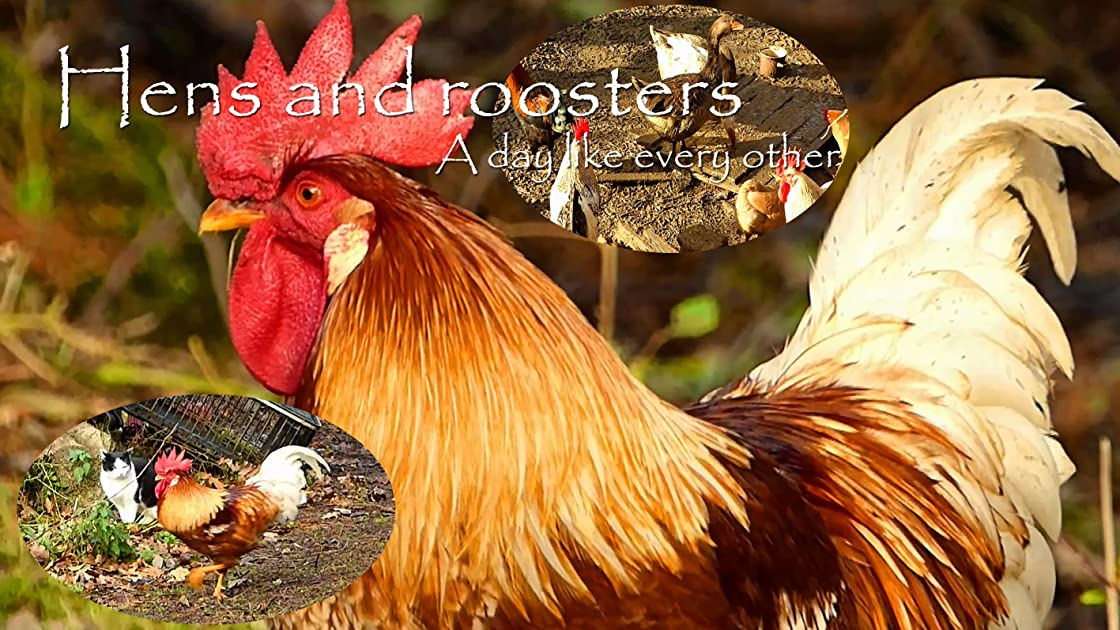 Hens and roosters. A day like every other on Amazon Prime Video UK