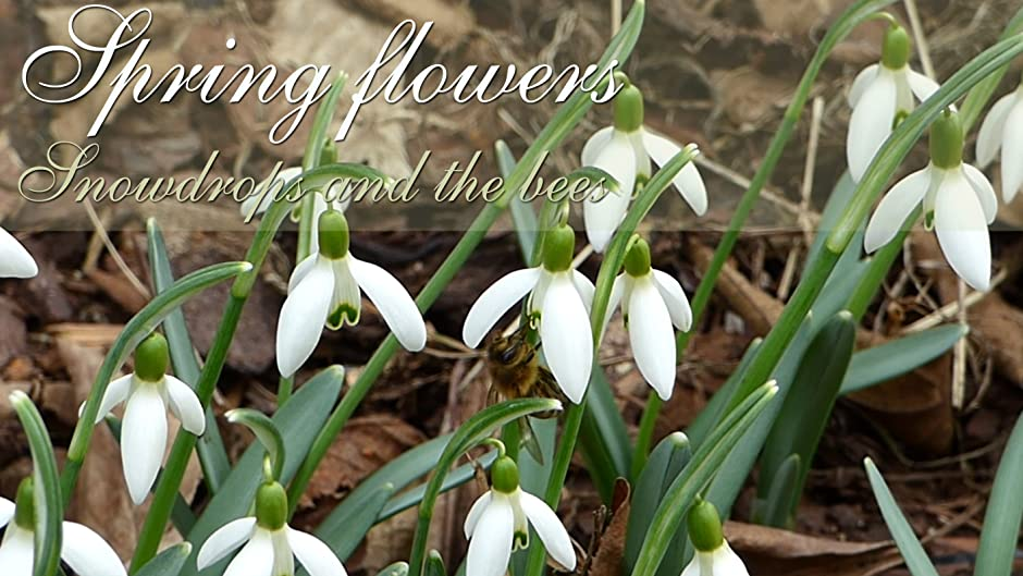 Spring Flowers Snowdrops And The Bees Watch Online Now With Amazon Instant Video Galanthus Nivalis EnjoyNatureVideo Enjoynaturevideo