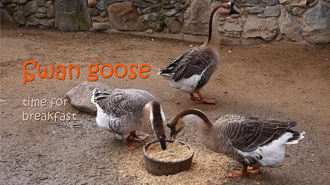 Swan goose. Time for breakfast on Amazon Prime Instant Video UK