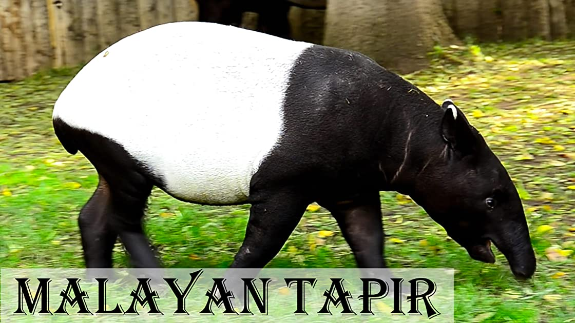 Malayan tapir on Amazon Prime Instant Video UK